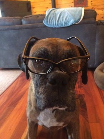 Head shot of a brown brindle boxer dog sitting down inside of a living room wearing reading glasses
