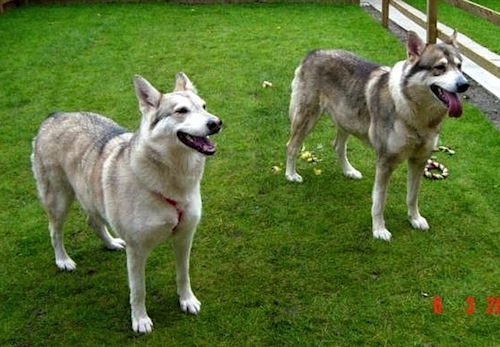 Two gray wolf looking dogs with prick ears and long muzzles standing outside in grass