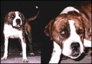 A far away and a close up picture side by side of a brown brindle with white muscular dog with a large head and ears that hang to the sides standing outside at night