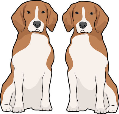 Two tan and white Beagle dogs sitting side by side