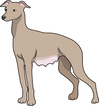 A tan, shorthaired whippet type dog with ears that fold out and down with milk filled belly standing
