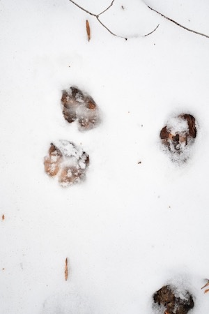Dog paw print tracks in the snow