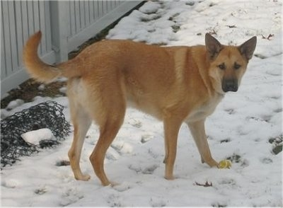 A large breed tan dog with prick ears, a wide forehead, black nose and muzzle with a long tail standing outside in the snow