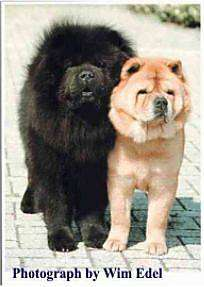 Two large breed, thick coated dogs with extra skin and wrinkles with very thick coats one dog black and other tan standing outside on a stone walkway