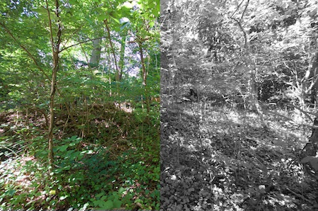 The woods cut in half with the left green in color and the right side of the image in black and white