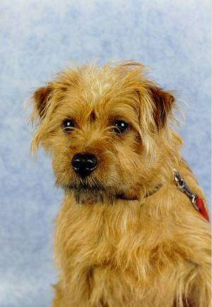 Front view head shot of a shaggy, scruffy looking tan dog with v-shaped drop ears, dark eyes and a black nose with a blue backdrop