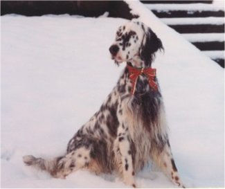 A large breed, white and black ticked dog with long fringe coming from her undersides and long drop ears sitting in snow looking to the left