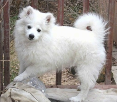 A small, fluffy, very thick coated white dog with a ring tail that curls up over her back, small perk ears, dark eyes and a dark nose standing outside on a deck