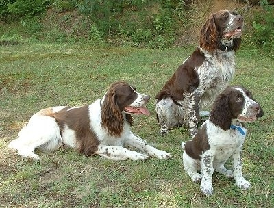 A pack of brown and white dogs with long hanging ears laying down and sitting in the grass