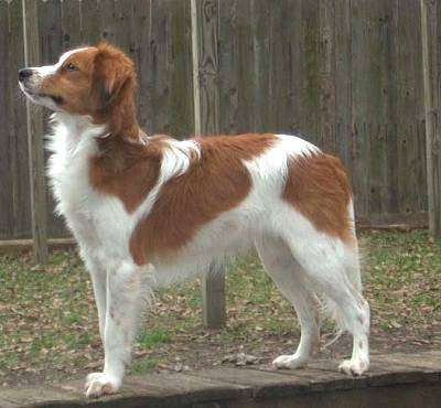 A reddish-brown and white wavy coated dog with ears that hang to the sides standing outside on a walkway