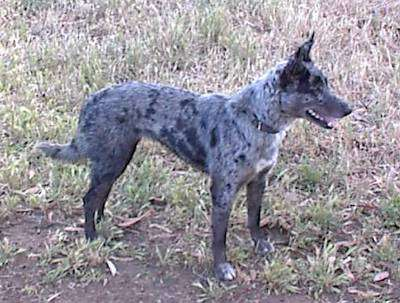 Side view of a gray merle colored dog with prick ears and a long tail standing outside in grass and dirt