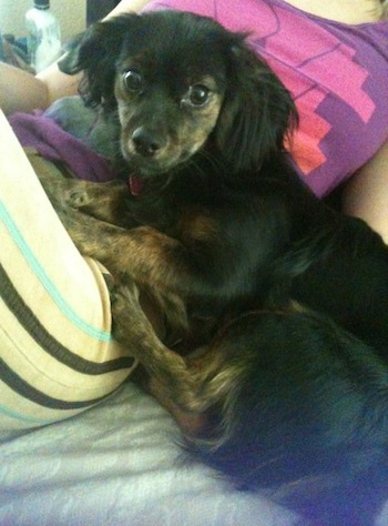 A little black and tan dog with fluffy drop ears laying down on top of pillows