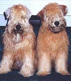 Two tan, thick-coated dogs with long hair that covers up their eyes sitting side by side