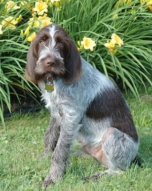 A large breed, long haired gray and brown dog with longer hair on her face and long hanging ears sitting down outside in the grass