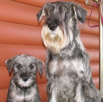 An adult scruffy looking dog with hair covering her eyes sitting next to a little gray puppy in front of a red log cabin