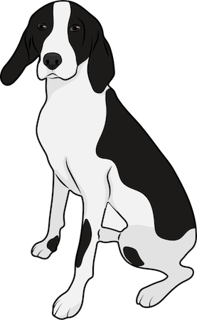 A black and white large breed hound type dog with long drop ears sitting down