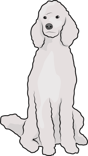 Front view of a white large poodle sitting down