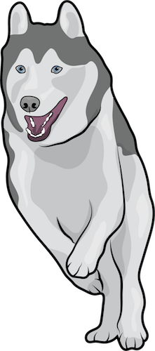 A gray and white dog with blue eyes and small prick ears running with her mouth open