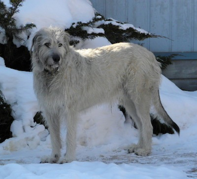 A tall, extra large, shaggy-looking gray and tan dog with a long tail and drop ears standing outside in snow