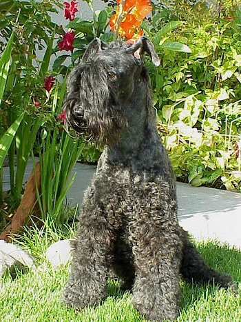 Front side view of a thick-coated, curly black dog with long hair on the top of her snout covering her eyes and face, a black nose and small prick ears sitting down with green plants and colorful flowers behind her