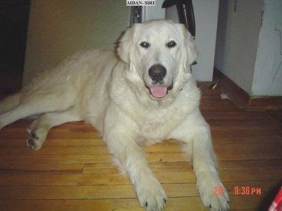 An extra large breed, thick coated, white dog with ears that hang to the sides, dark eyes and a big black nose laying down on a hardwood floor inside of a house