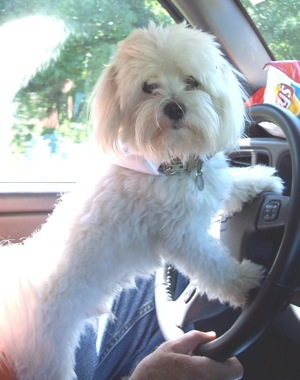 A small, thick, wavy coated, white dog with longer hair on her face, a black nose and dark eyes standing up with her paws on the steering wheel of a car