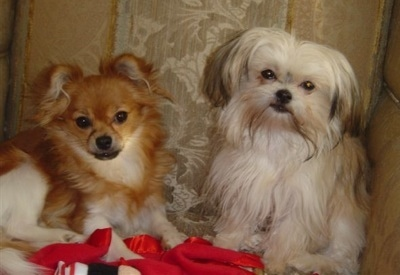 Two small breed dogs sitting down side by side, one red and white with a medium coat and the other white and tan with a longer coat
