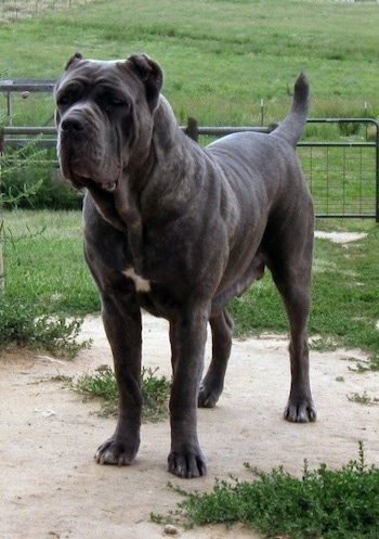 A tall, thick, muscular, large breed dog with extra skin and wrinkles and a very short gray coat with a white spot on her chest standing outside on a patch of sand surrounded by green grass