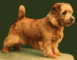 Side view of a small, reddish-tan dog with small fold over v-shaped ears, a small docked tail that stands straight up in the air a dark nose and dark eyes standing on a table with a green background