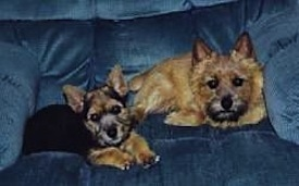 Two small dogs, a black and tan puppy and an adult toy sized tan dog with a wavy coat and prick ears laying down on a blue couch