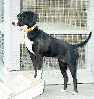 A shorthaired black dog with a white chest, snout and white paws standing inside of a dog pen