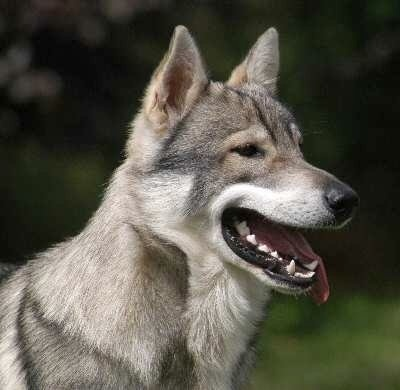 Side view head shot of a gray wolf colored dog with prick ears, dark eyes and a black nose with her tongue hanging out to the side