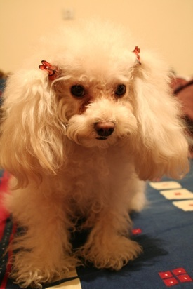 A small white fluffy dog with long hanging ears, dark eyes and a brown nose with red bows in her ears standing on a blue table