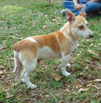Side view of a tan and white, shorthaired, dog with short legs, a nub for a tail and a long body with big prick ears and a long muzzle standing outside in grass