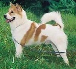 Side view of a medium sized white and tan dog with small prick ears, a tail that curls up over his back, dark eyes and a dark nose and lips standing outside in grass facing the left