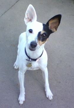 A small, thin, shorthaired white dog with a black and tan patch over one eye and large prick years sitting down looking up