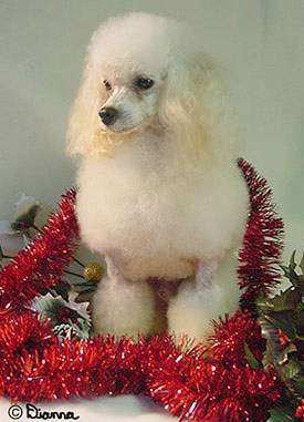 a small, fluffy white dog with her fur cut into balls and long fluffy ears sitting in decorative red garland