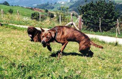 A brown brindle, short haired dog running in a grassy field with another dog laying down behind her