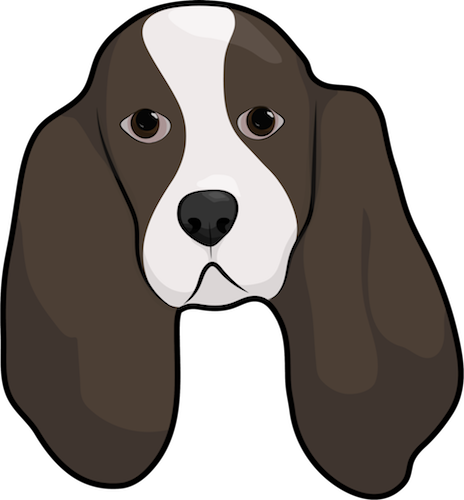 Head shot of a brown and white dog with very long ears that hang down to the sides