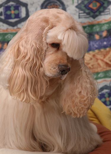 A tan, longhaired, soft-looking dog with long wavy hair on her ears and her bangs cut above her dark eyes with a black nose looking down