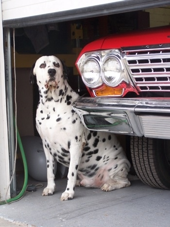A large breed white dog with black spots and black ears that hang to the sides sitting next to a red truck inside of a garage