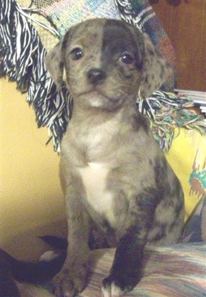 A small gray merle patterned puppy with ears that hang to the sides, big round dark eyes, a black nose and a white chest sitting down on a couch