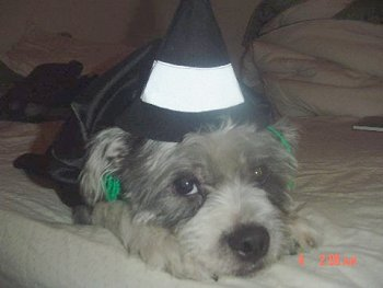 A small, long haired gray dog wearing a black and white witch hat laying down on a white blanket
