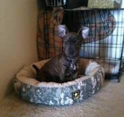 A little thick bodied short haired brown brindle dog with large prick ears sitting down in a dog bed inside of a house in front of a dog crate