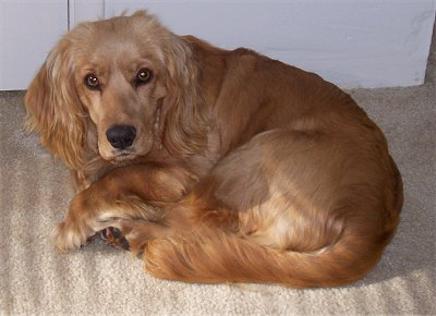 A medium sized, tan dog with a shaved body but longer hair on her long drop ears and long tail with a long muzzle, dark eyes and a black nose curled up laying down inside of a house