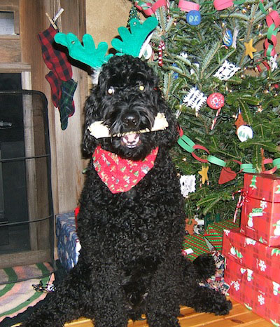 Front view of a large breed, curly coated, shiny black dog sitting down in front of a Christmas tree with a bone in his mouth wearing antler ears