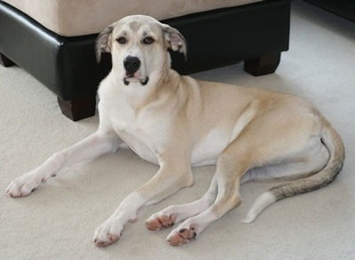 An extra large breed tan dog with white on her undersides and legs with ears that hang down and out to the sides, a long muzzle with big dewlaps laying down on a tan carpet in front of an ottoman