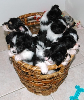 A brown wicker basket full of black and white fluffy puppies
