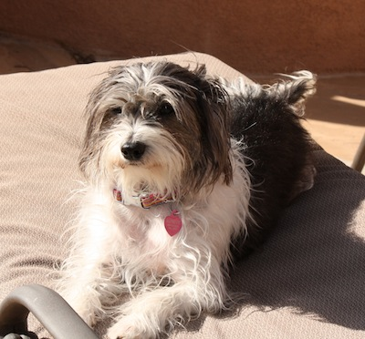 A long coated, white and gray dog with wavy hair and long ears that hang to the sides laying down on a tan chair outside in the sun