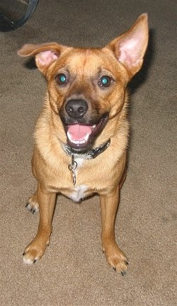 A medium sized tan dog with large fly away looking ears that go in different directions, dark round eyes and a black nose sitting down on tan carpet looking happy